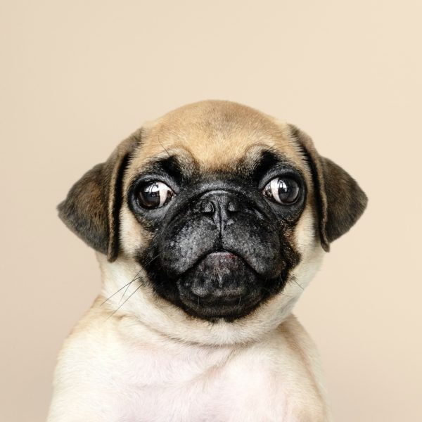 a small pug trying to look directly at the camera